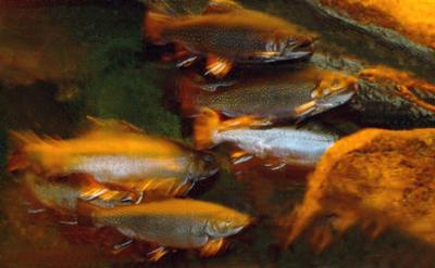 Brook Trout in an Aquarium
